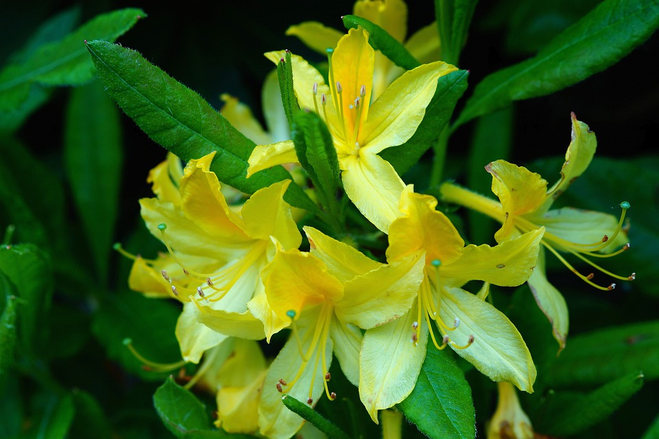Rhododendrons, Bush, Flowers, Yellow, Tender, Close