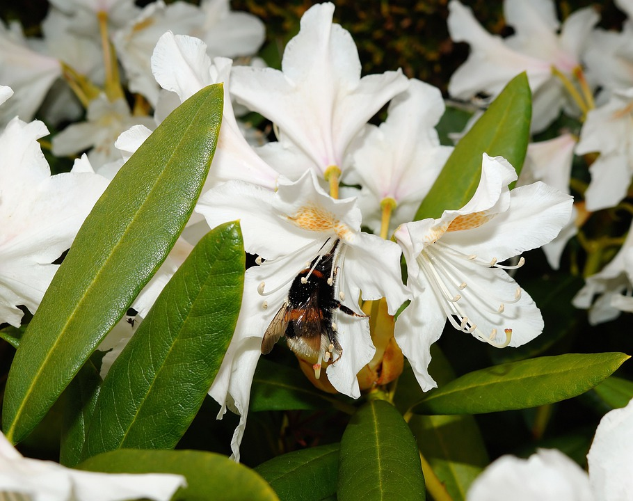 Rhododendrons, Bush, Flowers, White, Tender