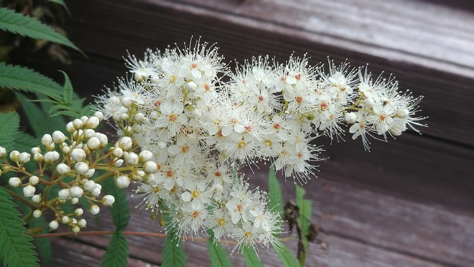Free photo tenderness rowan white flower medicine rowan flower max rowan rowan flower white flower tenderness medicine mightylinksfo