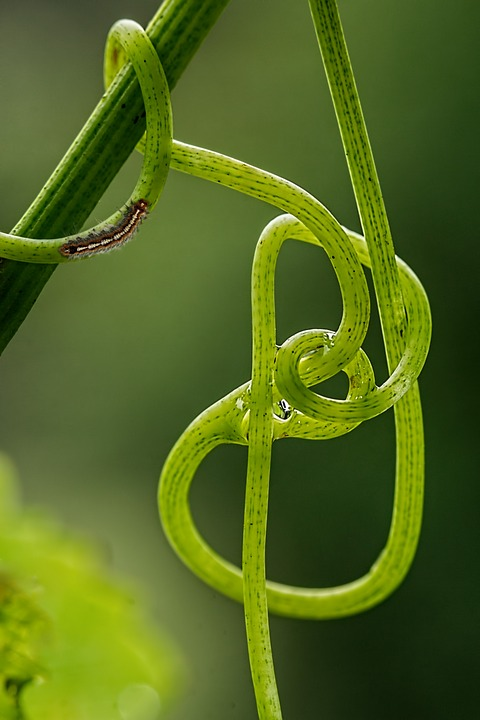 Grape Vine, Tendril, Climbing Plant, Green, Vine