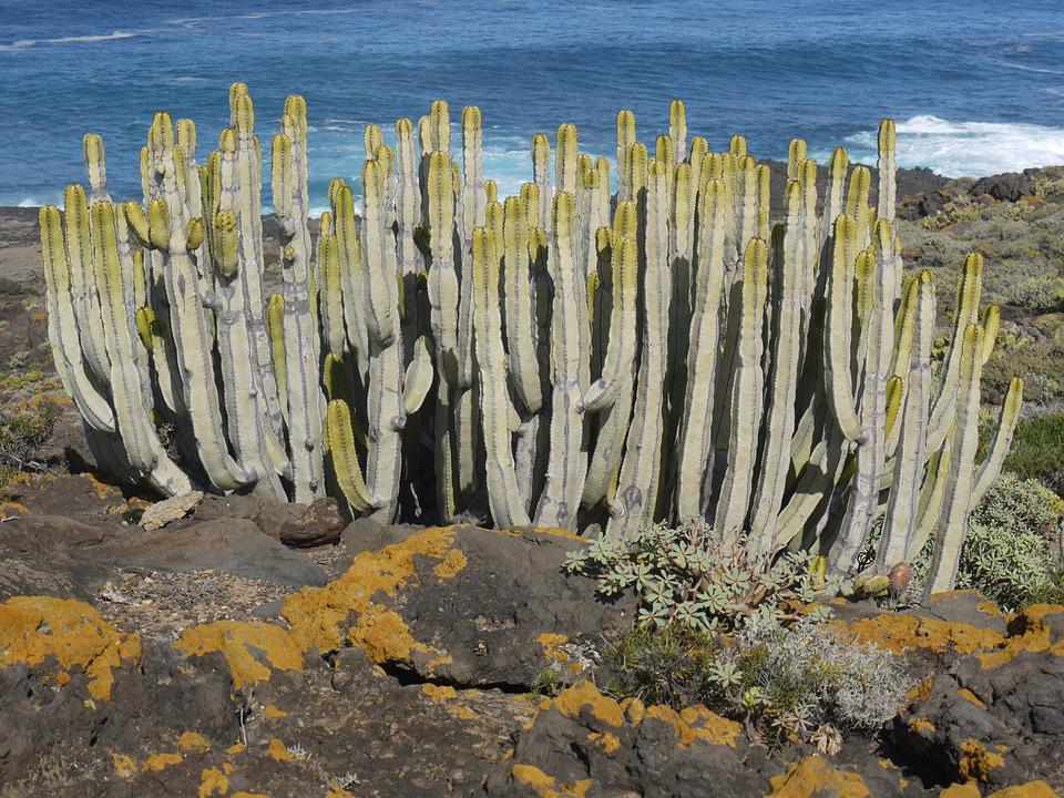 Cactus, Canarian Spurge, Spurge Family, Tenerife
