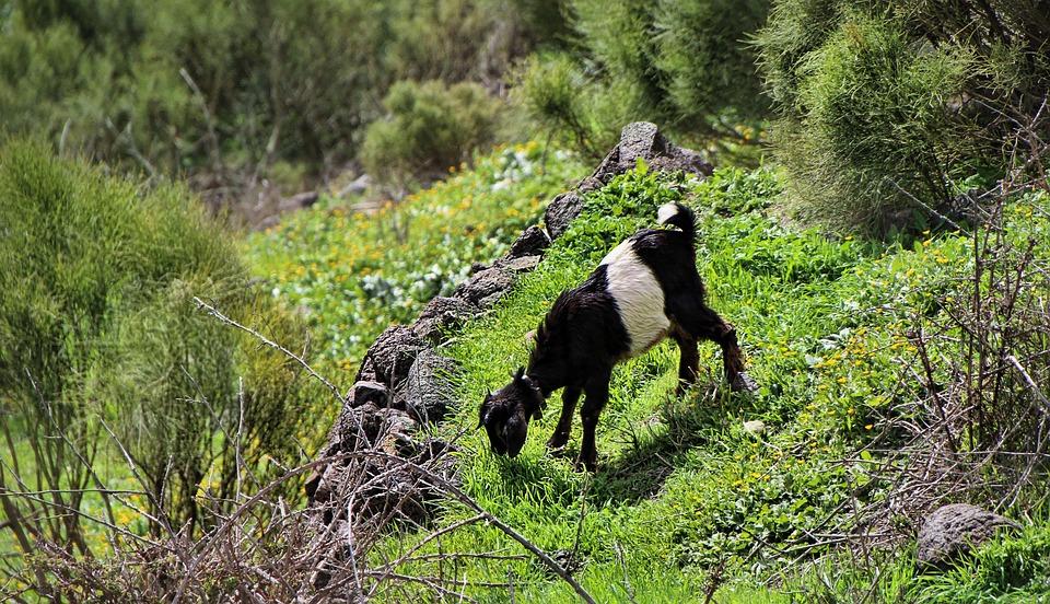 Goat, Alm, Tenerife, Nature, Wood, Grass, Tree, Summer