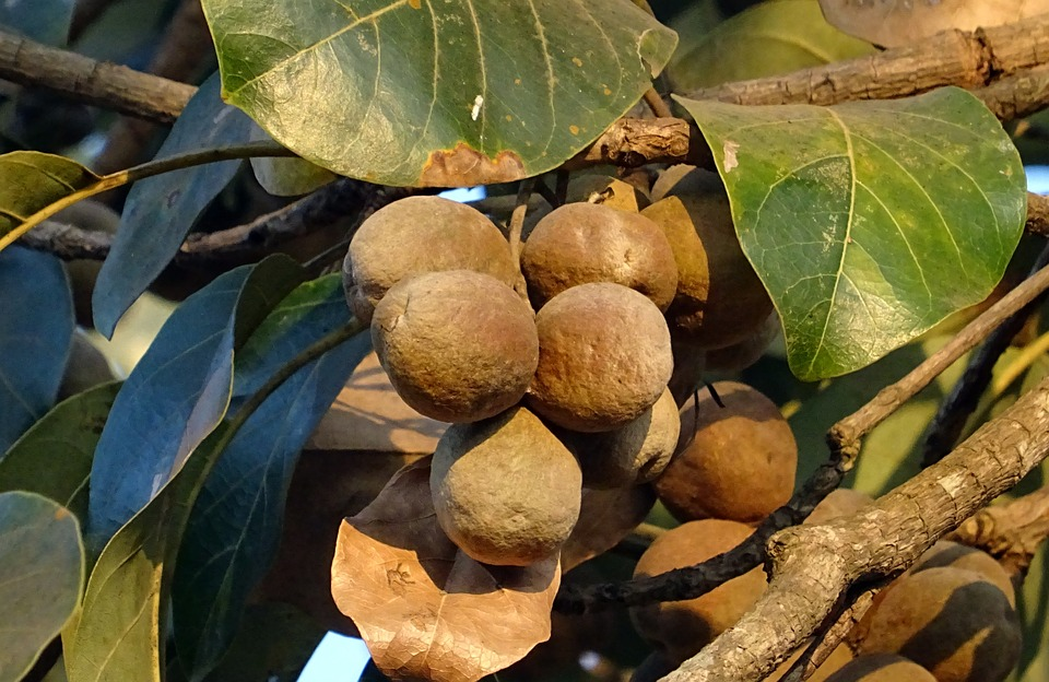 Fruit, Nut, Terminalia Bellirica, Bahera, Medicinal