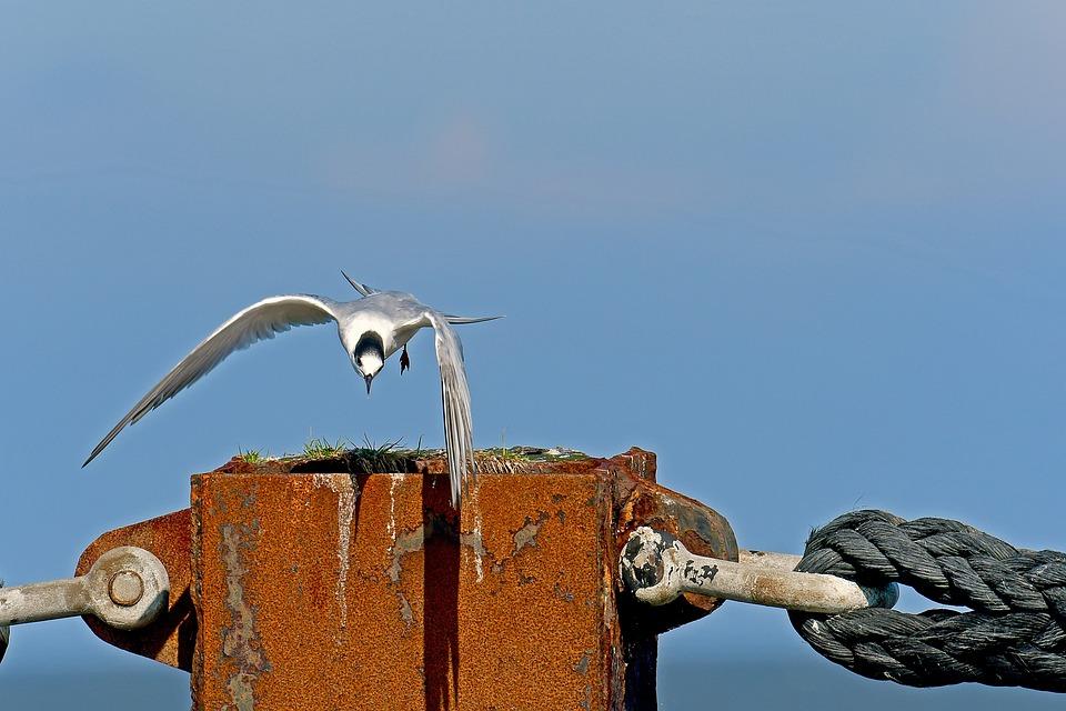 Sandwich Tern, Tern, Seevogel, North Sea Birds
