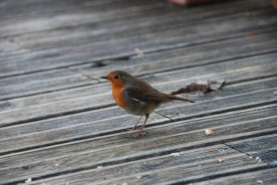 Bird, Winter, Robin, Terrace