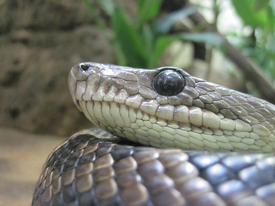 Snake, Eye, Close, Macro, Reptile, Terrarium, Scale