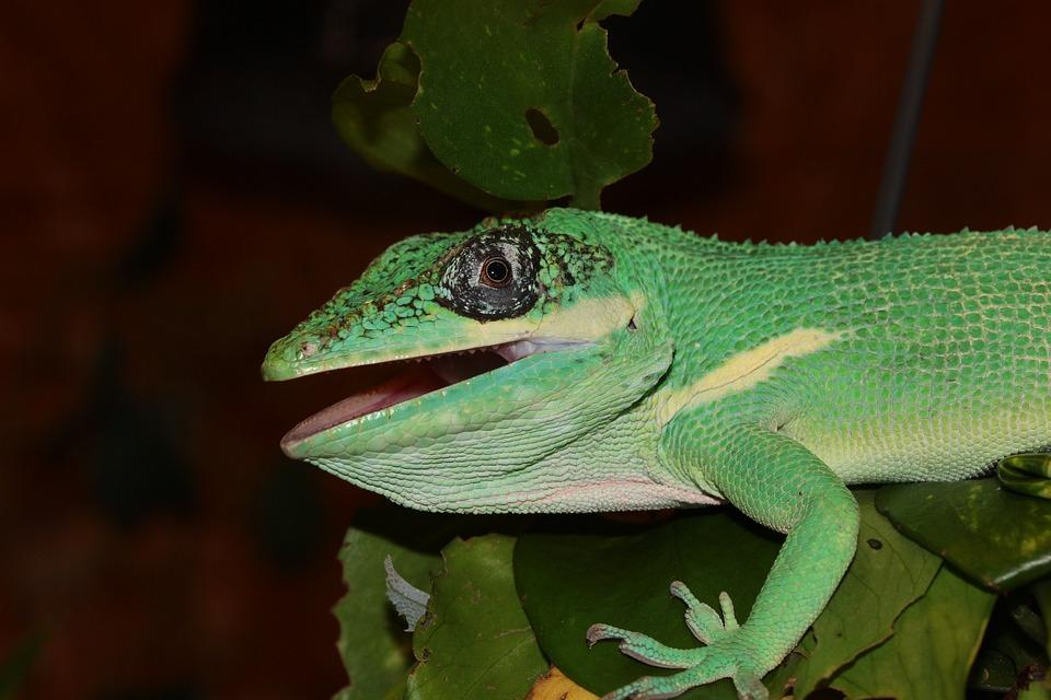 Lizards, Reptile, Terrarium, Urtier, Lizard, Chameleon