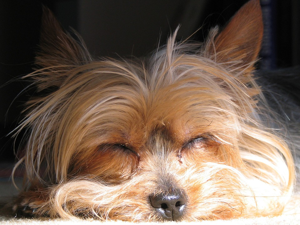 Dog, Yorkshire Terrier, Yorkie, Terrier, Pet, Canine