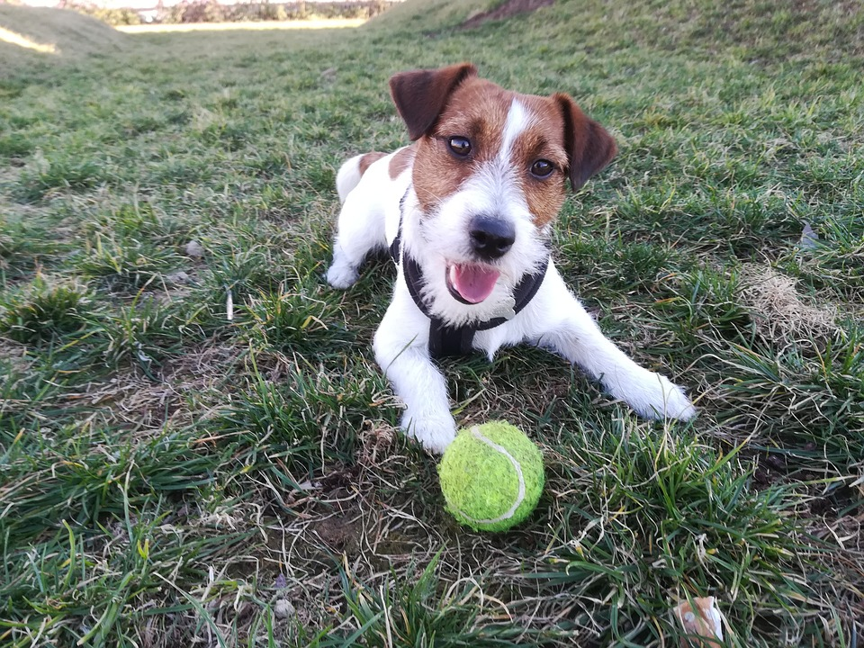 Dog, Jack Russell, Pet, Terrier, Animal, Cute, Puppy