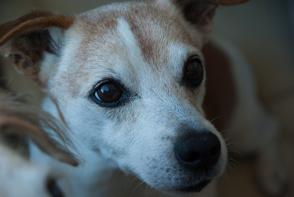 Dog, Jack Russel, Old, Terrier, Canine
