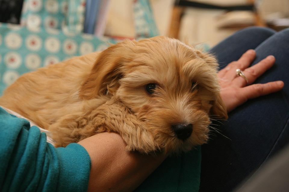 Dog, Terrier, Pet, Tibetan, Cute