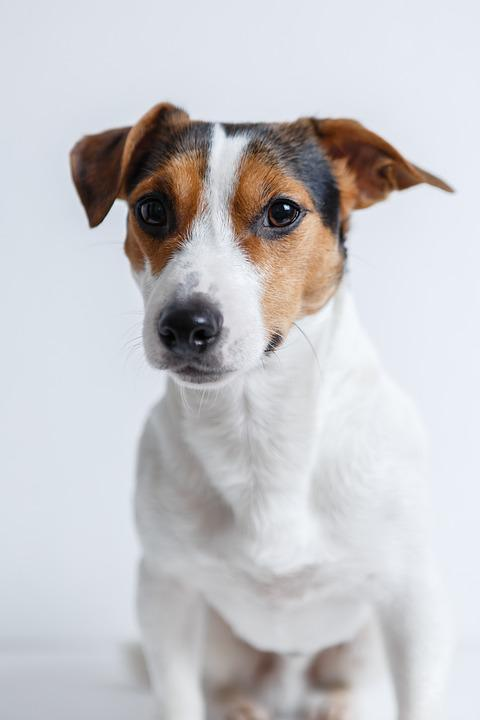 Dog, Jack Russell, Terrier, Puppy, Pet, Animals, Breed