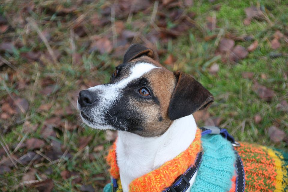 Dog, Terrier, Outfit, Obedient, Small, Breed