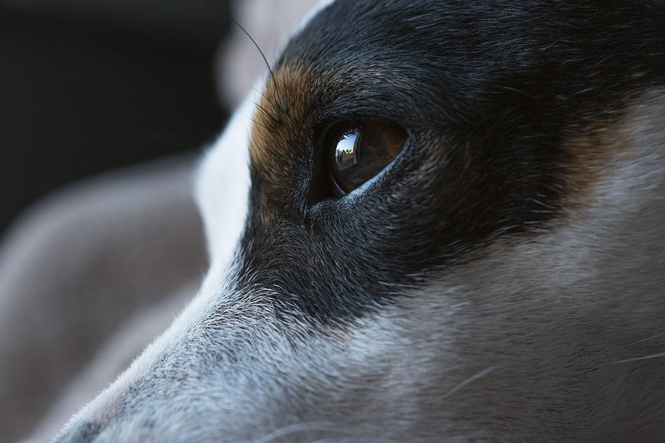 Dog, Jack Russel, Cute, Terrier, Jack, Russel, Look