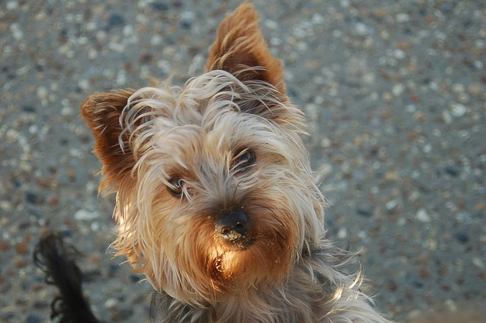 Yorkshire Terrier, Terrier, Dog, Yorkshire, Cute, Pet