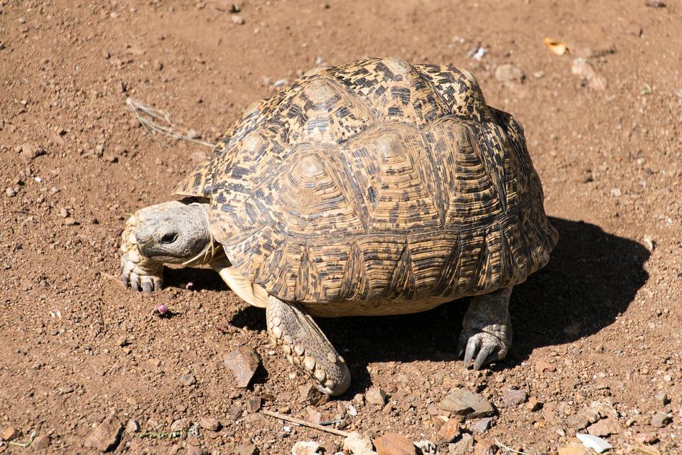 Turtle, Leopard Tortoise, Testudinidae