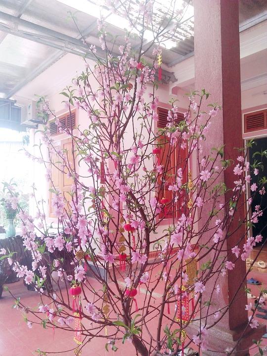 Cherry Flowers, Tet Holiday, Vietnam, Tan Ox
