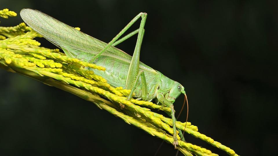 Tettigonia Viridissima, Viridissima, Insect