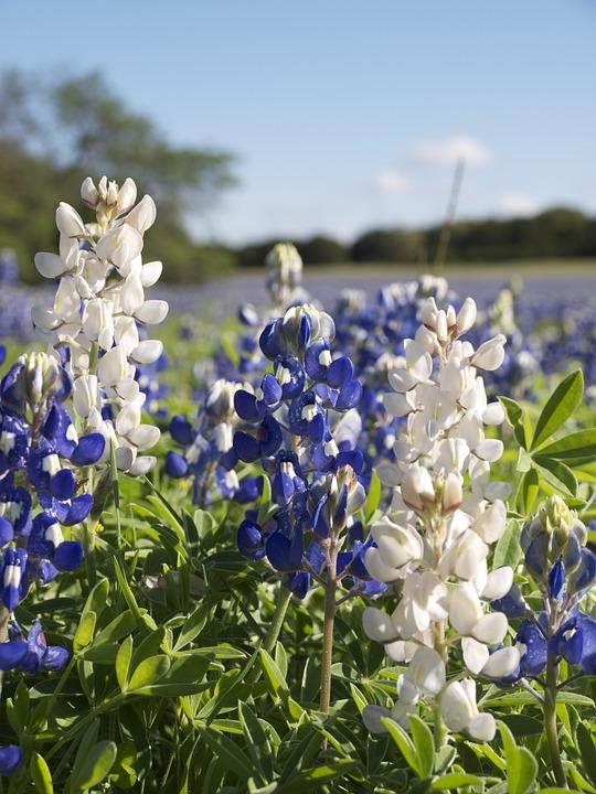 White Bluebonnet, Lupinus Texensis, Fabaceae, Texas