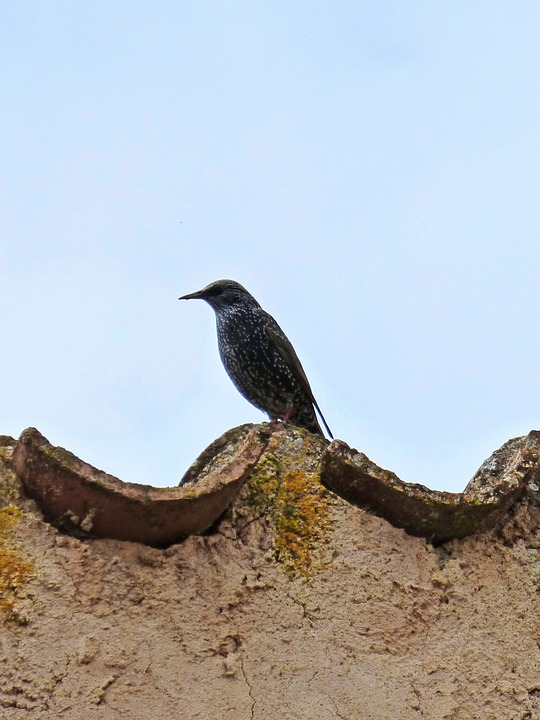 Starling, Roof, Texas, Sky