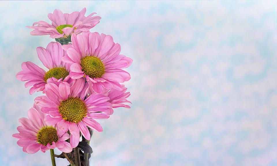 Daisies, Pink, Text Space, Background, Border, Nature