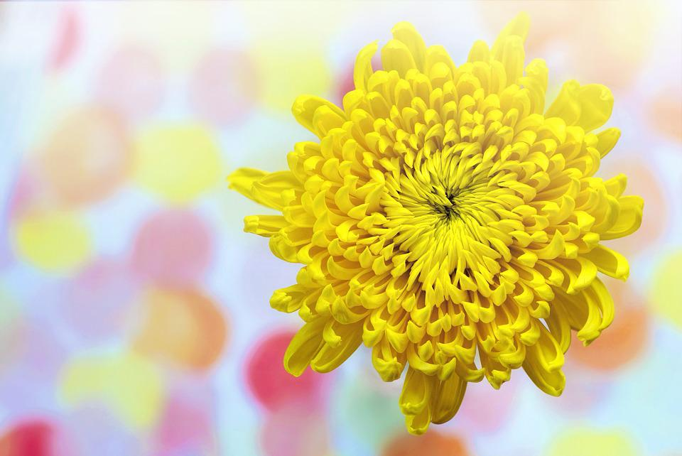 Yellow, Chrysanthemum, Spring, Sunny, Text Space