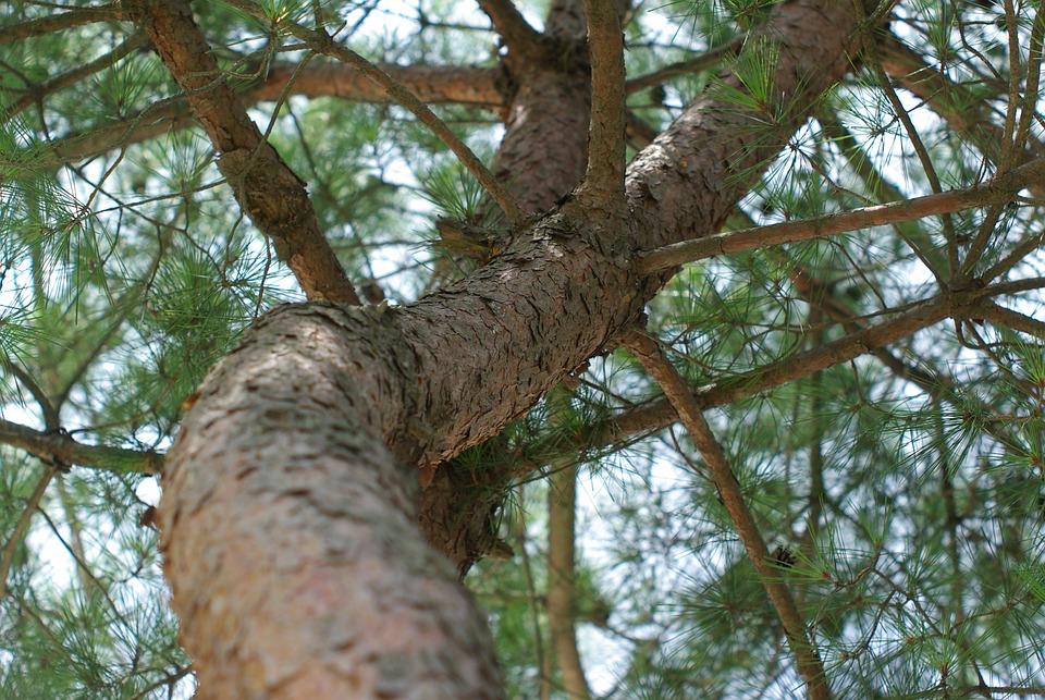 Pine, Eggplant, Texture, Wild, Wood, Peel