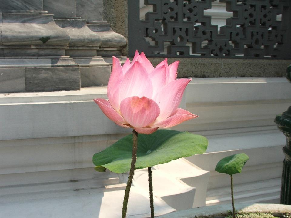 Lotus, Thailand, Palace, Bangkok