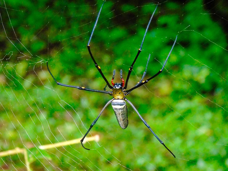 Spider, Web, Thailand, Insect, Nature, Cobweb, Arachnid