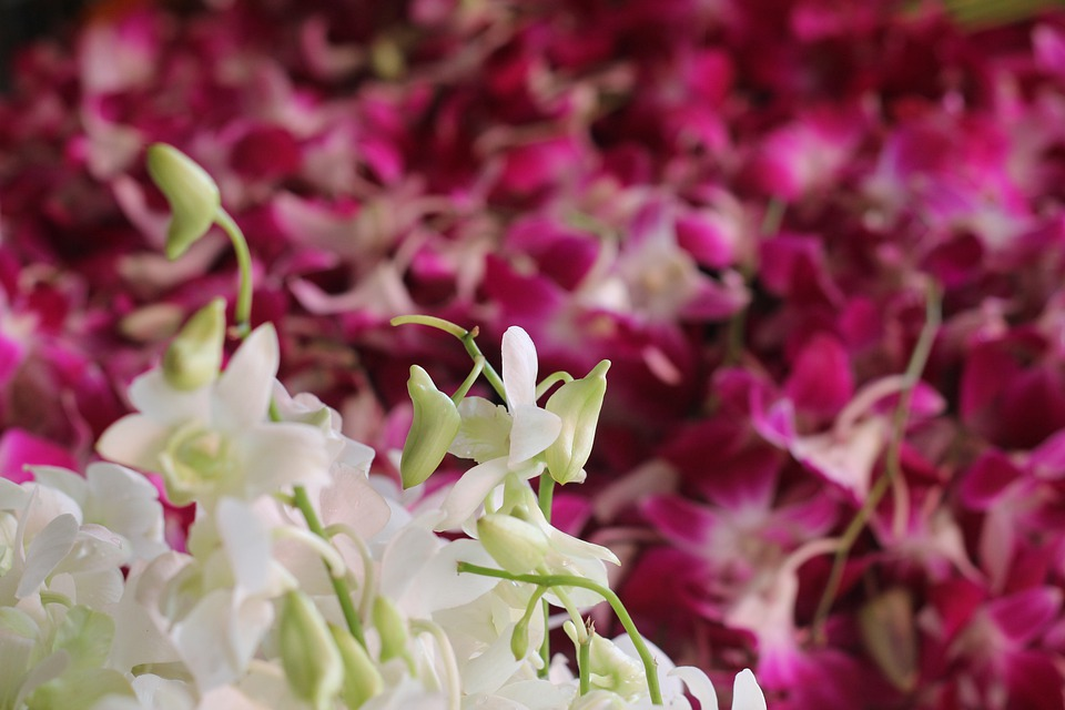Flower Market, Orchids, Fresh, White, Purple, Thailand