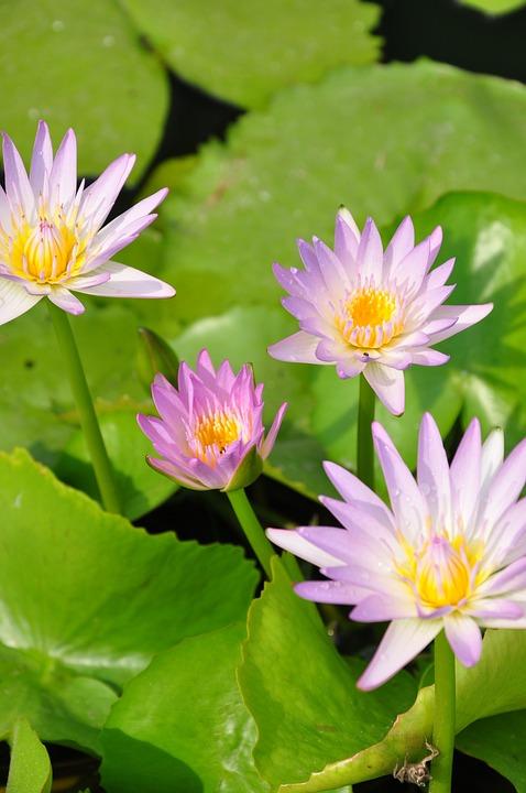 Color, Lotus, Thailand Lotus