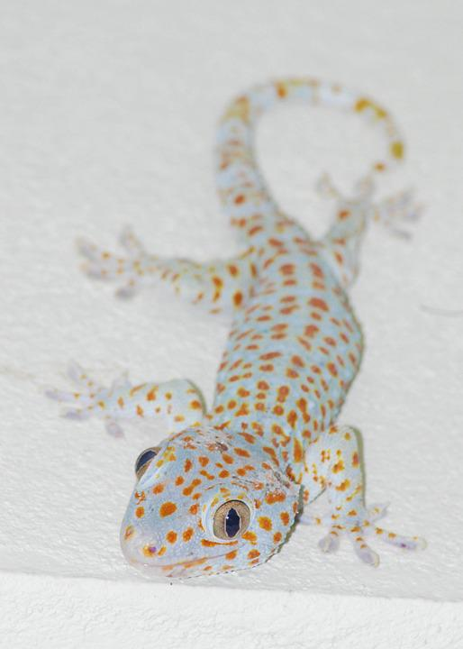 The Gecko, Lizard, Thailand, Reptile