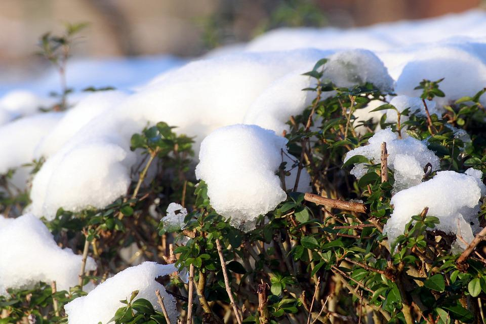 Snow, Privet Hedge, Thaw, Winter, Periwinkle