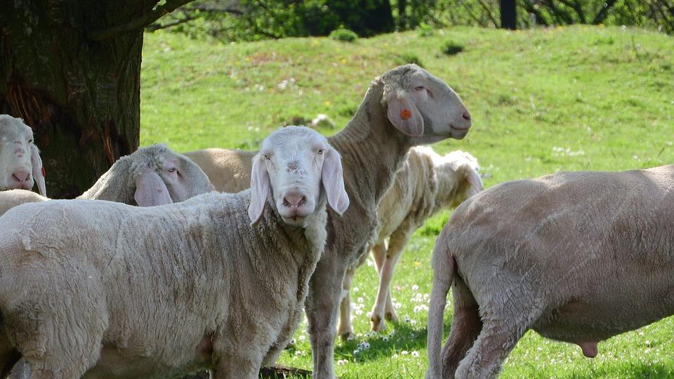 Sheep, The Animal On The Pasture, Farm Animal
