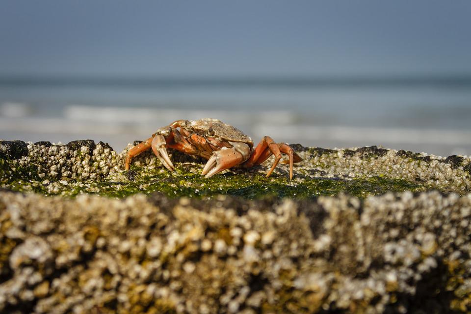 The Beach Crab, Carcinus Maenas, Crab, Cancer, Beach