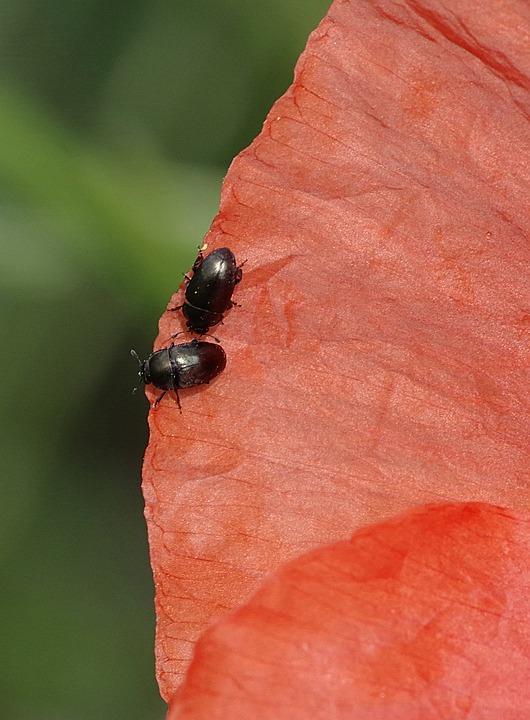 Worms, The Beetles, Black, Flower, Poppy