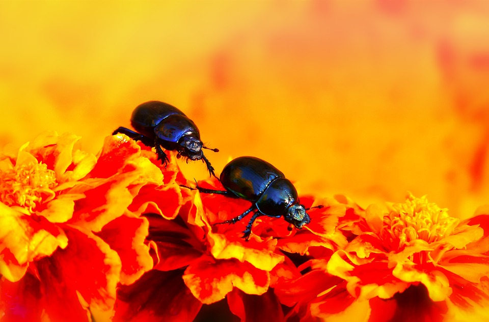 Beetles Forest, The Beetles, Flowers, Marigold, Animals