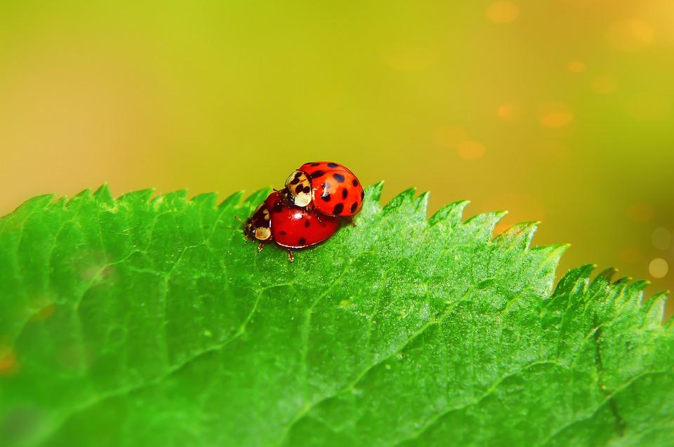 Asian Ladybug, Copulation, The Beetles, Leaf, Animals