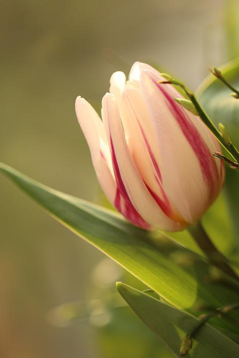 Tulip, Striped, The Blurred, Background, Plant, Nature