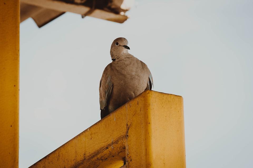 Pigeon, City Bird, Birds, The Breeding Of Pigeons, Dove