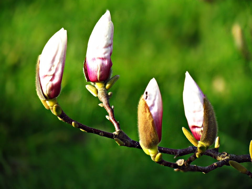 The Buds, Flowers, Tree, Spring, Blooms, Nature, Plant