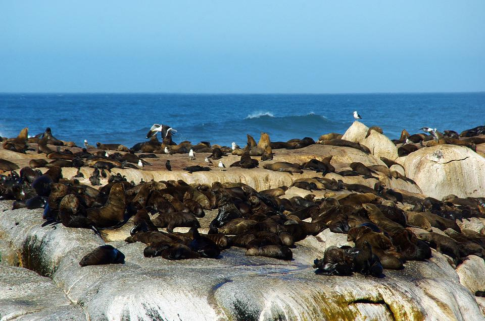 South Africa, Shore, Sea Lions, The Cap, Wild