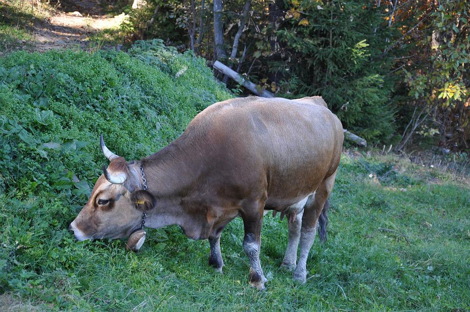 Cow, Mountains, The Carpathians, Cow Eating Grass