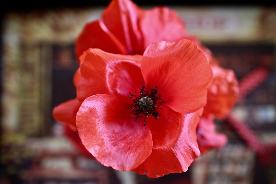 Poppy, Flowers, The Fjords Of The Field, Wild Flowers