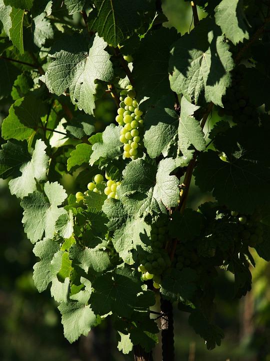 Grapevine, The Grapes, Creeper, Berry