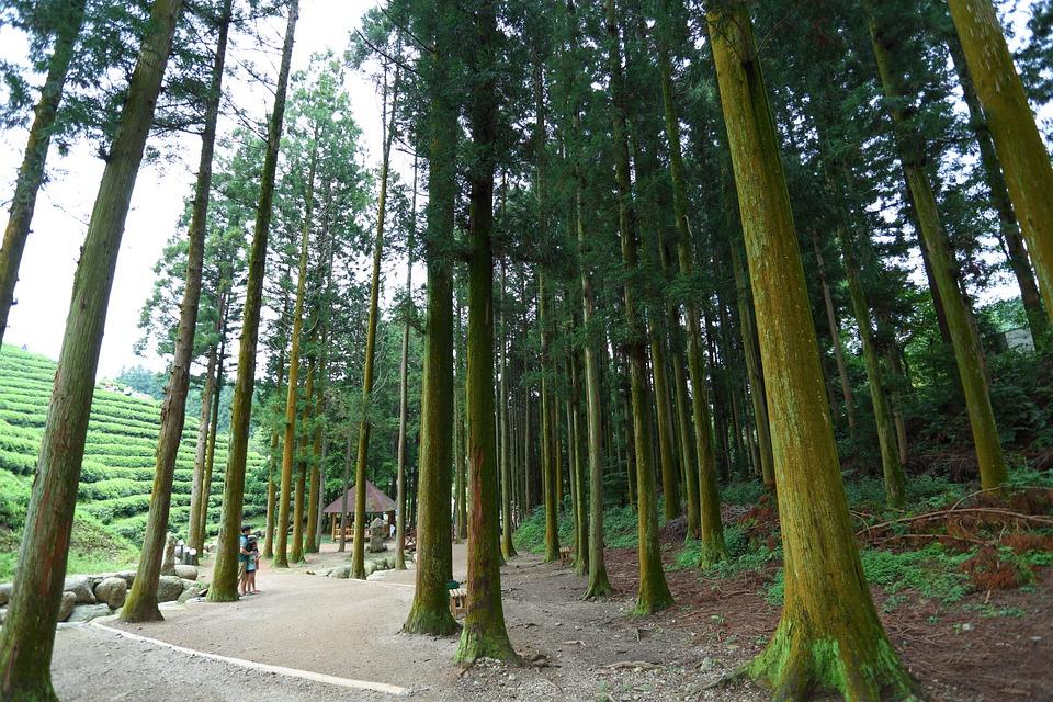 Boseong, Green Tea Plantation, Tea, The, Korea