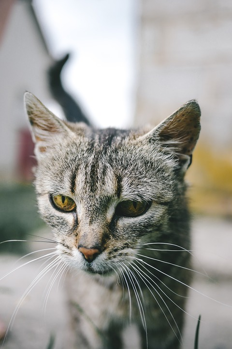 Cat, Animal, The Head Of The, Ears, Mustache, Gray
