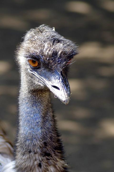 Ostrich, Emu, Bird, Beak, Eye, The Head Of The, Animal