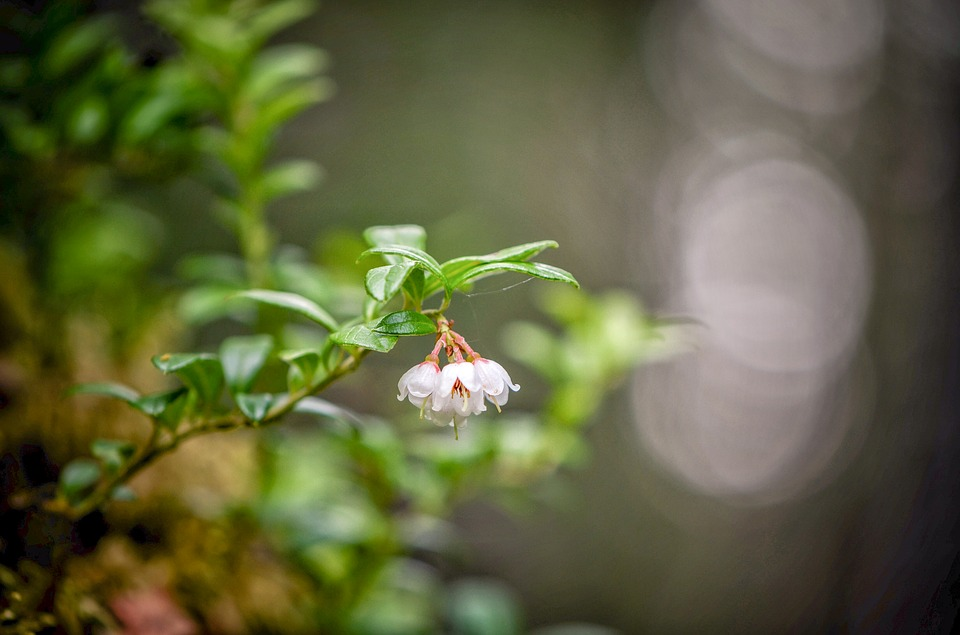 Lingonberry Twig, The Inflorescence, Cowberry