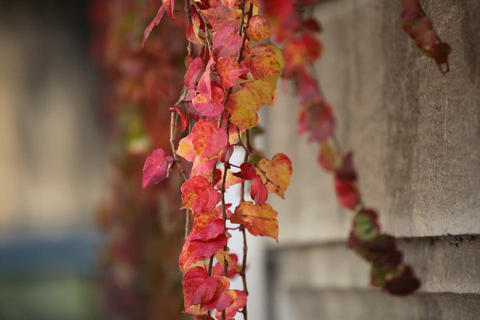 Akiba, Autumn, Maple, The Leaves